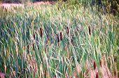 image of marshes  - Background of bulrush in marsh in sunset time - JPG