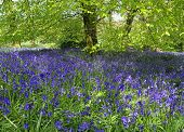 Magical bluebell woods in Dorset England.