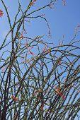 Occittia Cactus Plant