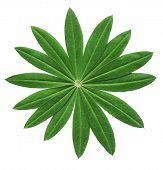 Lupin Leaf