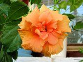 Flor de hibisco naranja