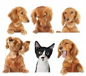 stock photo of dachshund dog  - Funny kitten surrounded by dogs - JPG