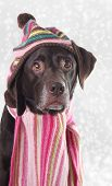 Chocolate lab in knitted hat and scarf, with snowy background.