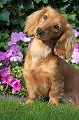 Cute dachshund outside in spring.