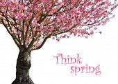Cherry tree in full bloom, isolated on white. Add your own text.