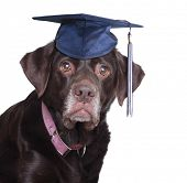 Old labrador retriever,  wearing a mortar board.