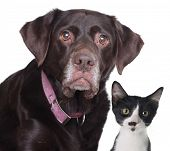 Alt Labrador Retriever und Kat, Studio isolated on White.