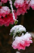 Snowy Pink Azalea