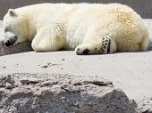 Polar Bear Snoozing On Rocks poster