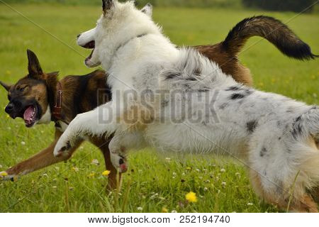 poster of Dogs Play With Each Other. Young Australian Shepherd Dog. Aussie. Merry Fuss Puppies. Aggressive Dog