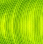 foto of banana  - Detail and texture of Fresh green banana leaf - JPG