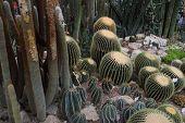 Large Beautiful Cacti. Botany Garden In Cremia poster