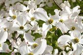 stock photo of dogwood  - White dogwood tree flowers blooming on a sunny spring day - JPG