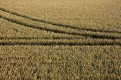 Tyre tracks in cornfield