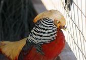 Golden Pheasant, Chrysolophus Pictus