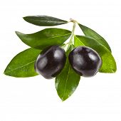 olive branch with olives on a white background