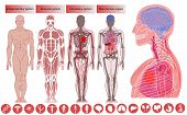 Human Body Anatomy, Medical Education. Nervous And Skeletal Systems Anatomy And Physiology Flat Educ poster
