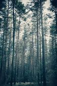 Foggy, moody forest with tall trees. Dreamy image. Dark, creepy atmosphere. poster