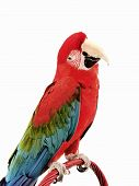picture of polly  - Green Wing Macaw giving a head tilt on an isolated white background - JPG