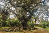 Ficus Macrophylla, Commonly Known As The Moreton Bay Fig Or Australian Banyan Is An Enormous Tree Wi poster