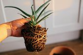 Repotting Plant. Hand Holding Aloe Vera With Roots In Ground, Repot To Bigger Clay Pot Indoors. Care poster