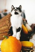Cute Kitty Standing On Pumpkin At Cozy Wicker Basket And Zucchini In Light On Wooden Background. Har poster