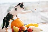 Kitty Sitting On Pumpkin And Playing In Light And Zucchini, Apples And Pears On Wood. Happy Thanksgi poster