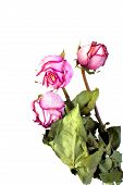 Wither Roses