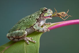 picture of baby frog  - A baby grey tree frog has captured a grasshopper and is eating it - JPG