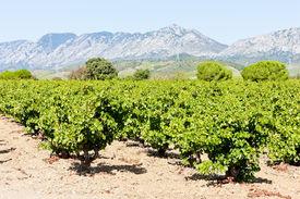 stock photo of mauri  - vineyars in Languedoc - JPG