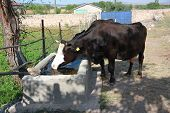 Cow Drinking Water At A Water Reservoir