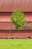 Single Tree In Front Of Old Weathered Rustic Red Barn