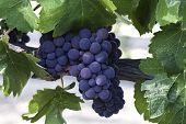 Red Grape Cluster On Vine