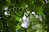 Katsura Leaves From Below