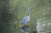 Grey Heron Standing In A Pond