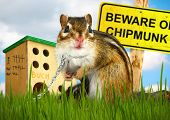 foto of maliciousness  - Ridiculous malicious chipmunk  - JPG