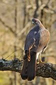 picture of goshawk  - Goshawk perched in a tree in the forest - JPG