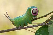Harpy Caterpillar