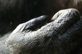 Close-up Chimp Hand