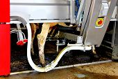 Cow In A Computerized Milking Machine. Dutch Farm