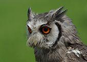 Nördlichen White-Faced Owl / Otus Leucotis