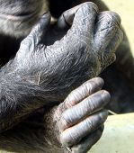 Chimp Hands