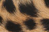 Cheetah Fur Macro