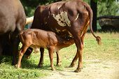 stock photo of lactation  - Lactating cow - JPG