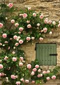 picture of climbing roses  - Roses climb a stone wall and surround a green window in Provence - JPG