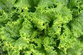 Fresh Green Lettuce Or Salad Leaves As Background