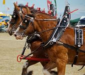 foto of clydesdale  - Two Clydesdale horses galloping alongside each other - JPG