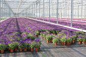 Purple Flowers In A Greenhouse
