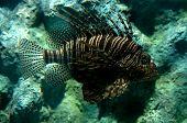 Tropical Fish Lionfish
