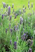 Lavandula Dentata Is A Species Of Lavender, One Of Several Species Known Also By Lavandula Stoechas.